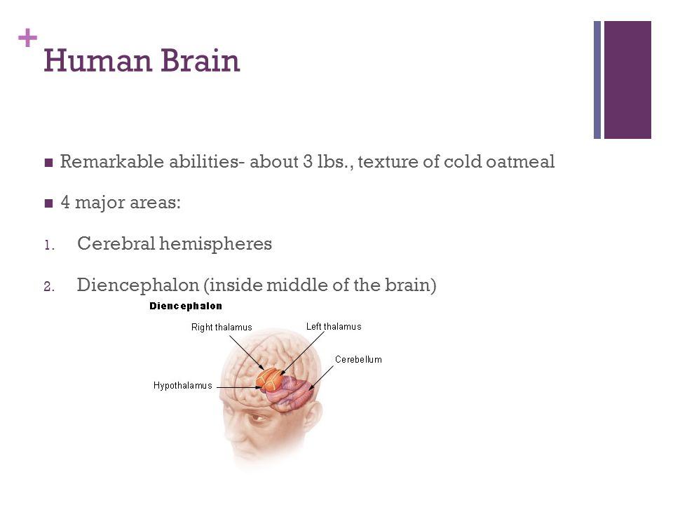 Human Brain Remarkable abilities- about 3 lbs., texture of cold oatmeal. 4 major areas: Cerebral hemispheres.