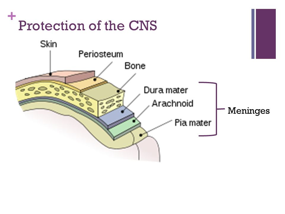 Protection of the CNS Meninges