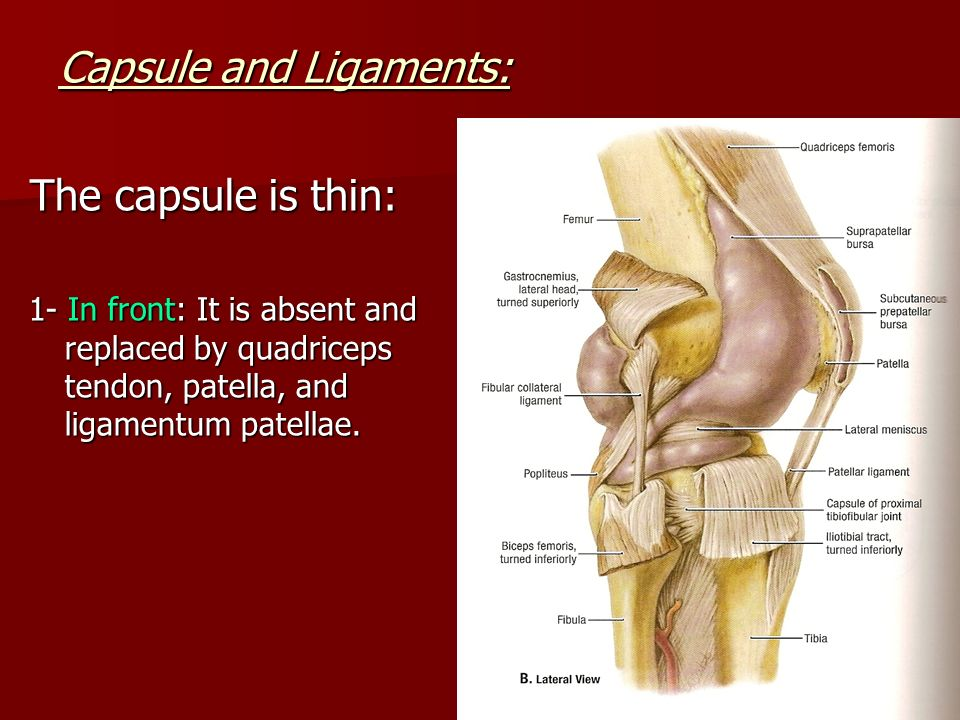 The Knee Joint Type Synovial Modified Hinge Ppt Video Online