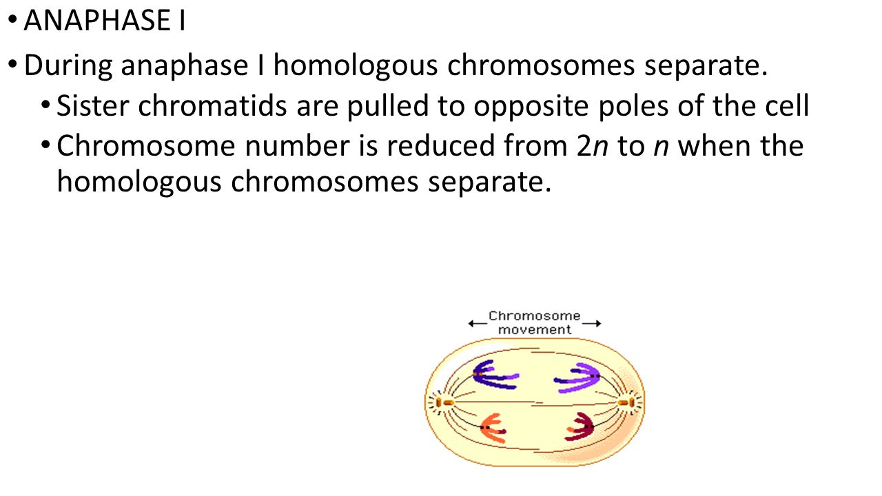 ANAPHASE I During anaphase I homologous chromosomes separate. Sister chromatids are pulled to opposite poles of the cell.