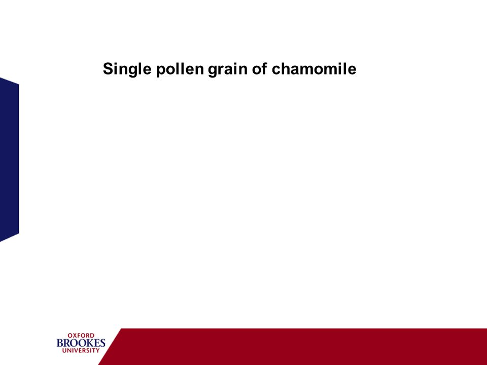 Single pollen grain of chamomile