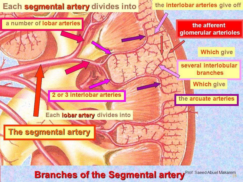 Branches of the Segmental artery