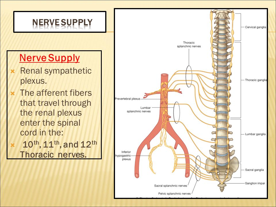 Nerve Supply Nerve Supply. Renal sympathetic plexus. The afferent fibers that travel through the renal plexus enter the spinal cord in the: