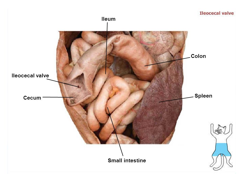 Lab 11 Humancat Digestive System Grossmicroscopic Anatomy Ppt