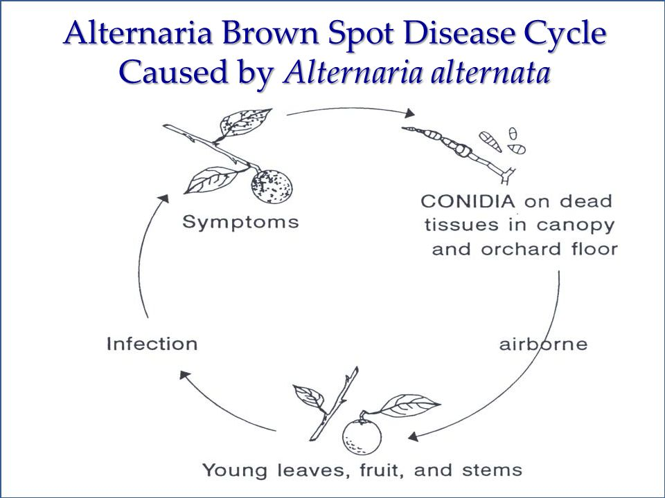 Fungal diseases of citrus fruit and foliage ppt download alternaria brown spot disease cycle caused by alternaria alternata altavistaventures Choice Image