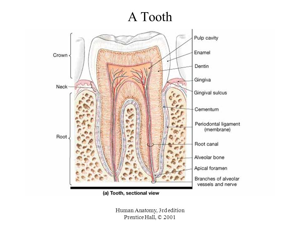 Anatomy Of Permanent Teeth Images - human body anatomy