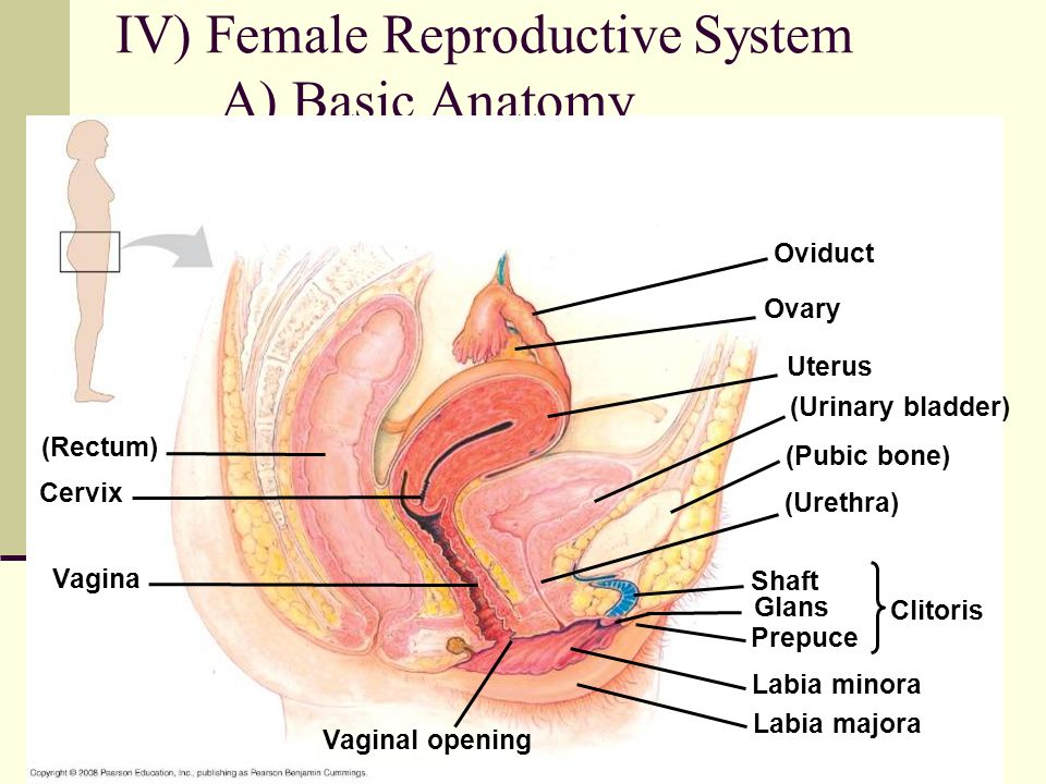 Iv Female Reproductive System Ppt Video Online Download