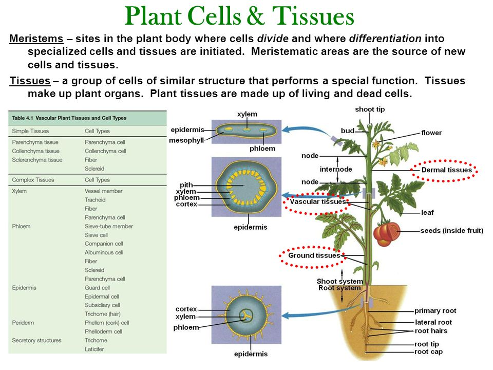 Plant Structure: Cells, Tissues, Organs, Meristems & Growth - ppt ...