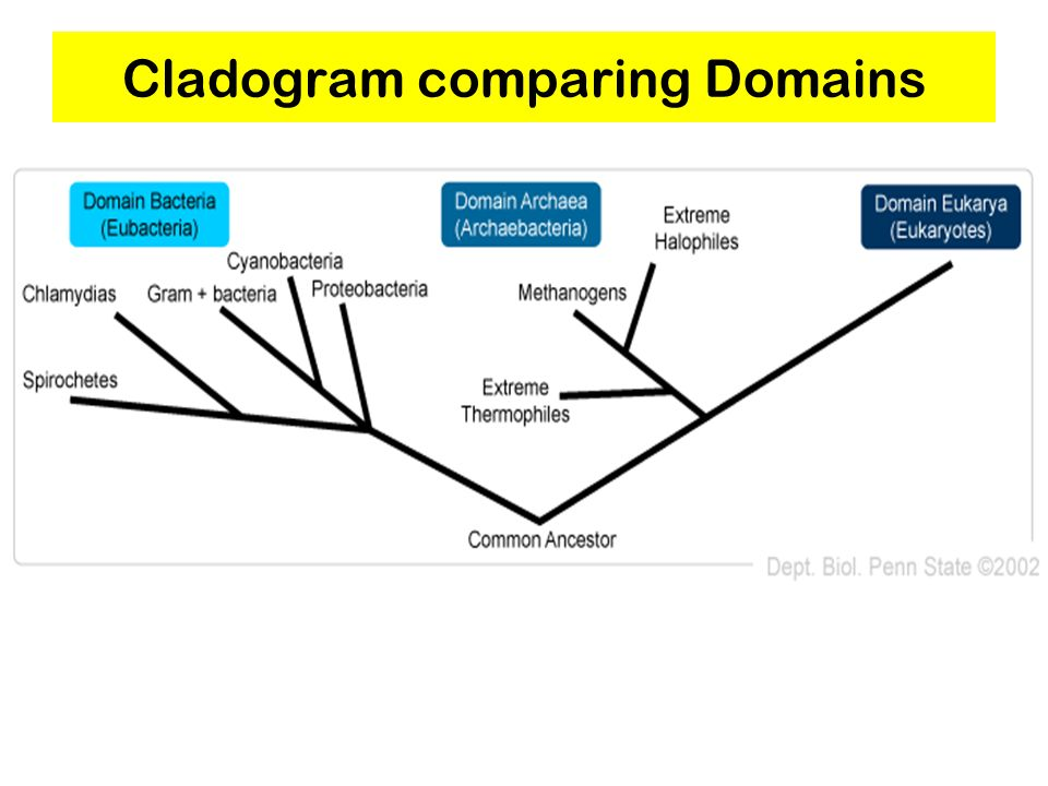 Cladogram comparing Domains