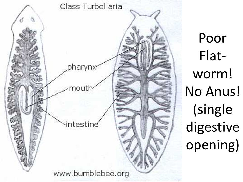 Platyhelminthes The Flatworms Ppt Video Online Download