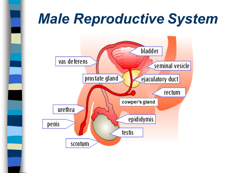 Male Reproductive System Diagram Cowpers Gland Illustration Of
