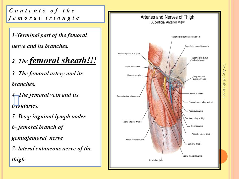 The front of the thigh Dr.Amjad shatarat. The front of the thigh Dr ...