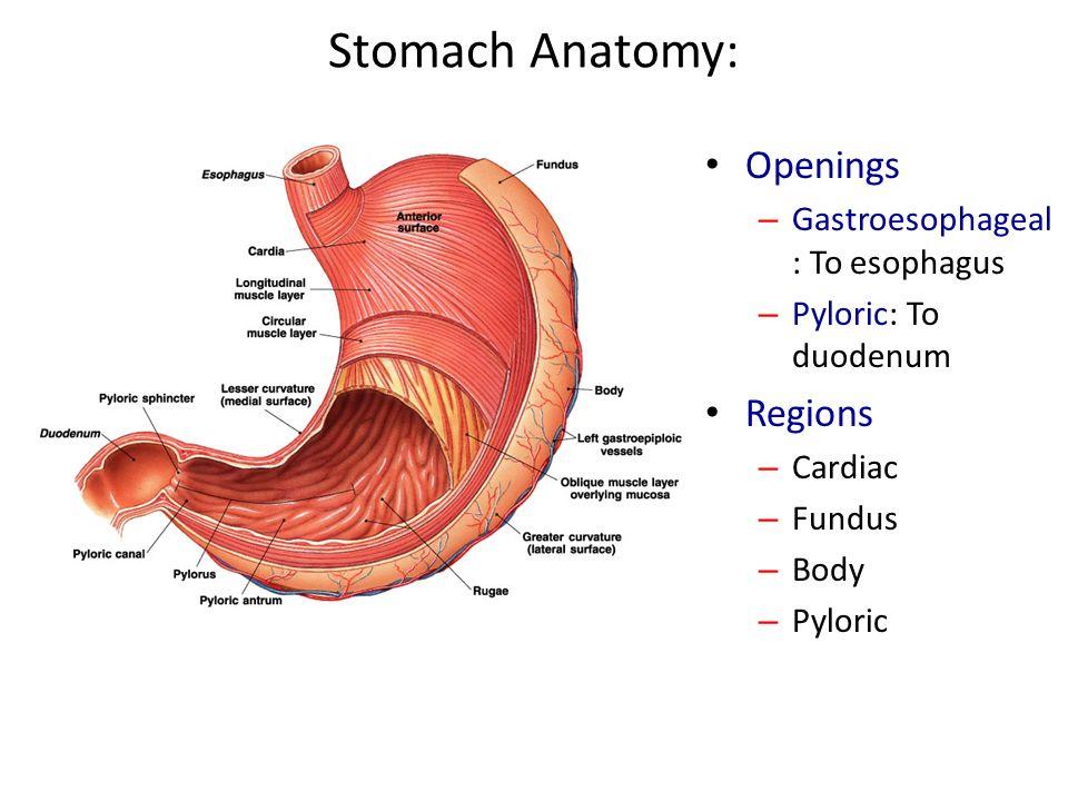 Digestive System Anatomy - ppt video online download