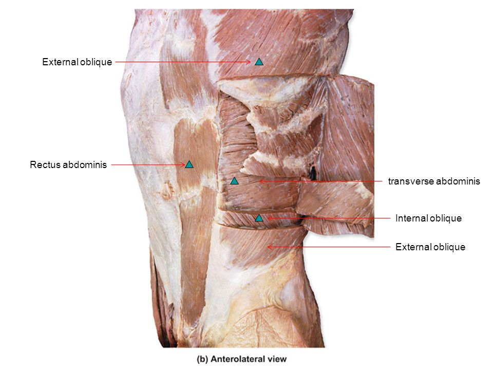 Rectus Abdominis Anatomy Images - human body anatomy