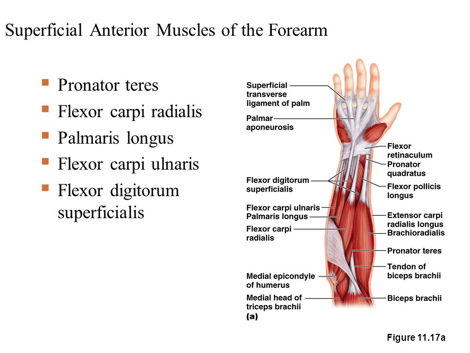Superficial Muscles of the Body – Anterior View - ppt video online ...