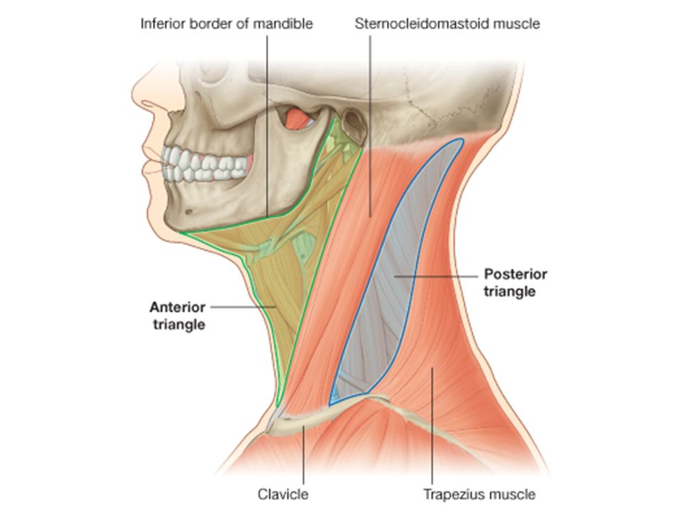 POSTERIOR TRIANGLE OF NECK STEVEN J. ZEHREN, PH.D. - ppt video ...