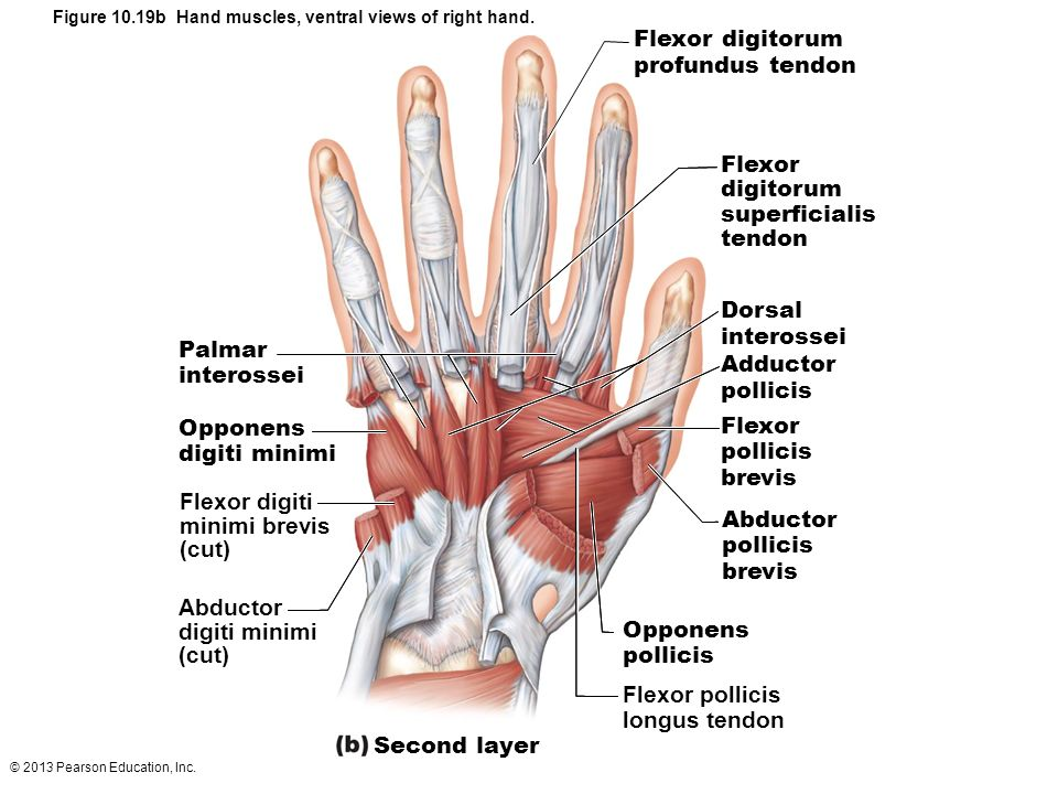 Ventral Hand Anatomy Diagram - Electrical Work Wiring Diagram •