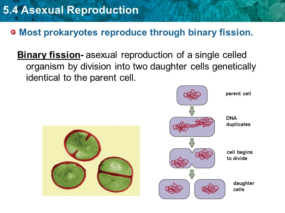 Prokaryotes reproduce asexually by binary fission steps