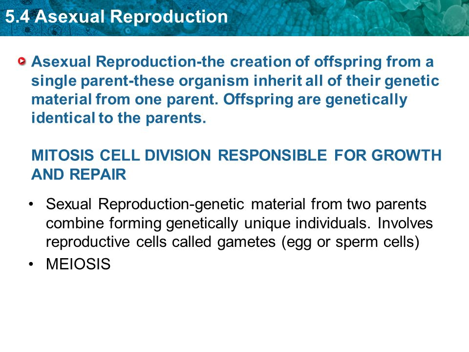 Type of cell division in asexual reproduction how many parents