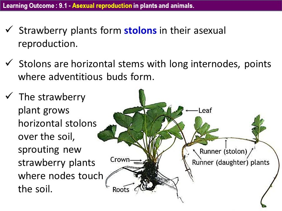Plant runners asexual reproduction images