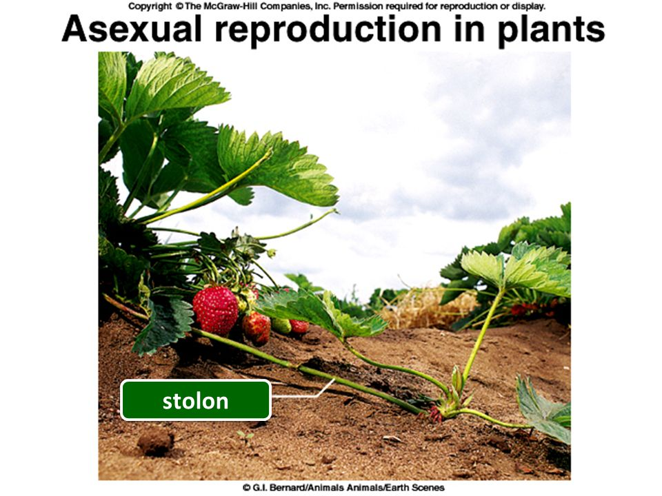 Stolons with plantlets asexual reproduction