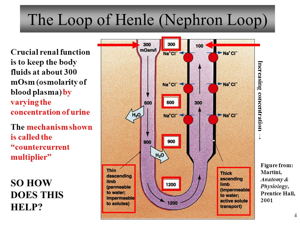 Osmoality Loop Of Henle Diagram All Kind Of Wiring Diagrams