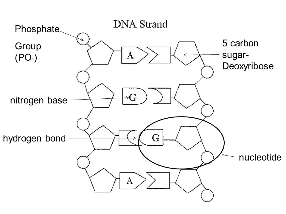 The components and structure of dna dna deoxyribonucleic acid 4 phosphate group po4 5 carbon sugar deoxyribose nitrogen base hydrogen bond nucleotide ccuart Images