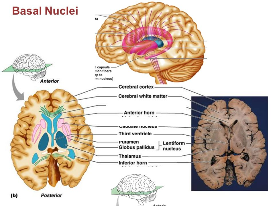Neuron soma deep within the brain - ppt download