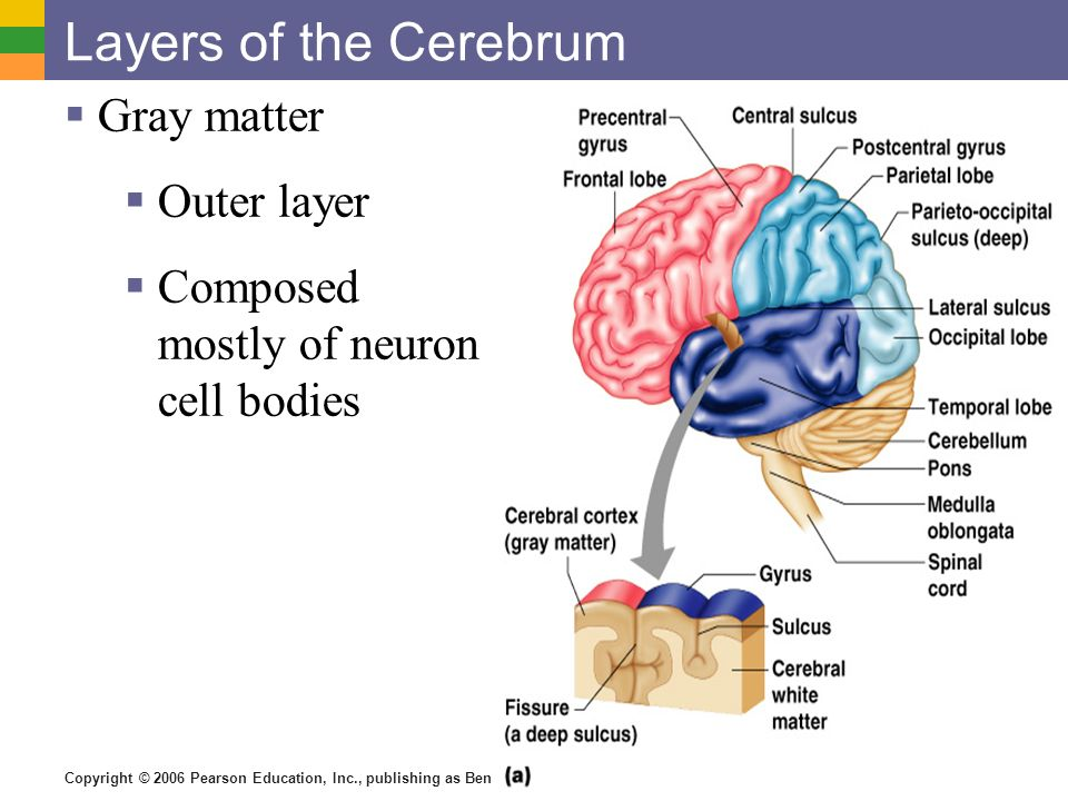 Layers of the Cerebrum Gray matter Outer layer