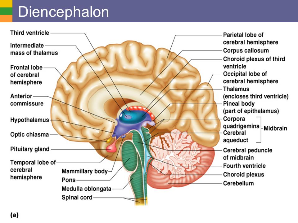 Brain diagram diencephalon online schematic diagram show the major regions of the brain and describe their functions rh slideplayer com sheep brain diagram anatomy human brain functions ccuart Images
