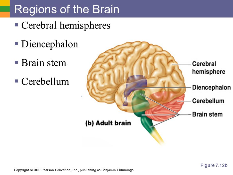 Show The Major Regions Of The Brain And Describe Their Functions