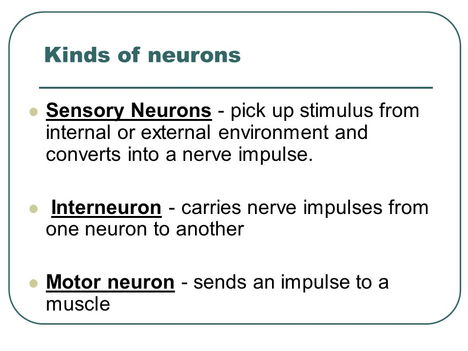 Kinds of neurons Sensory Neurons - pick up stimulus from internal or external environment and converts into a nerve impulse.