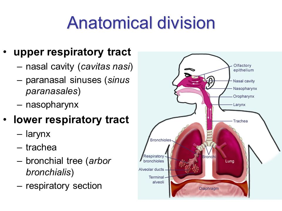 Fancy Anatomy Of The Lower Respiratory Tract Photos Image Of