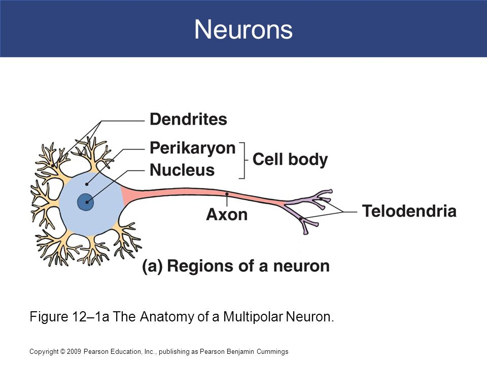 An Introduction to the Nervous System - ppt download