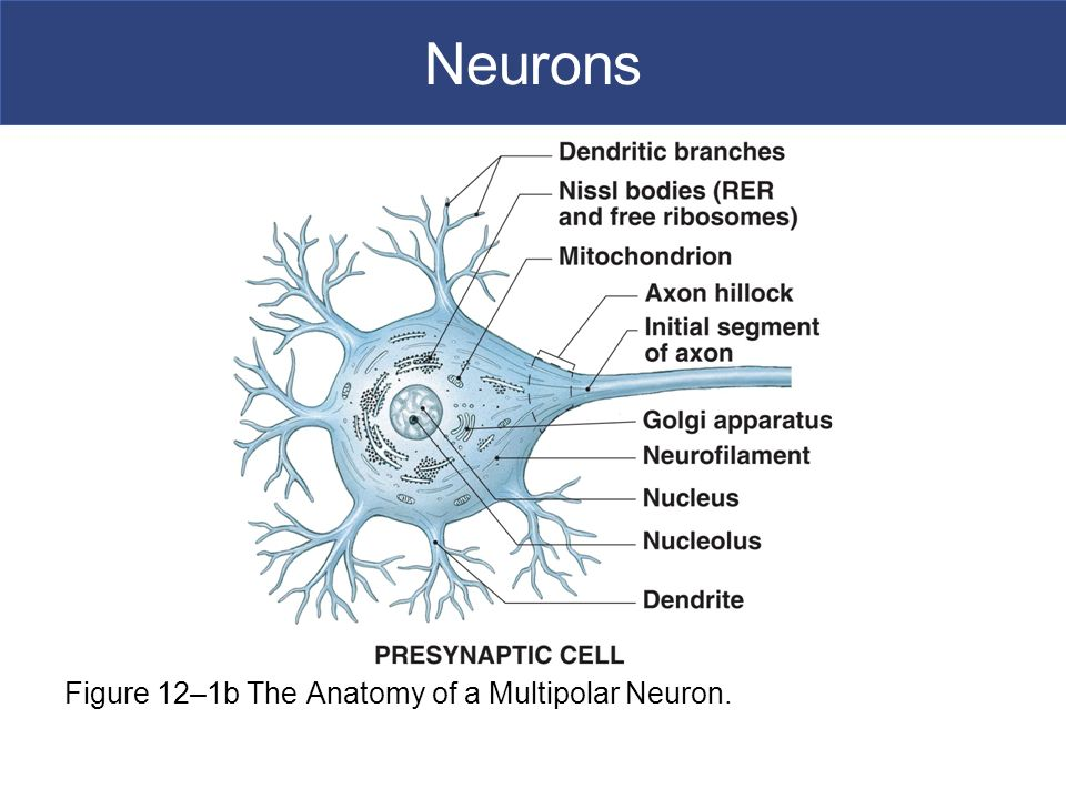 Nerves Lecture #13 Ch 12 Nerves Muse sp10 6/28/ ppt download