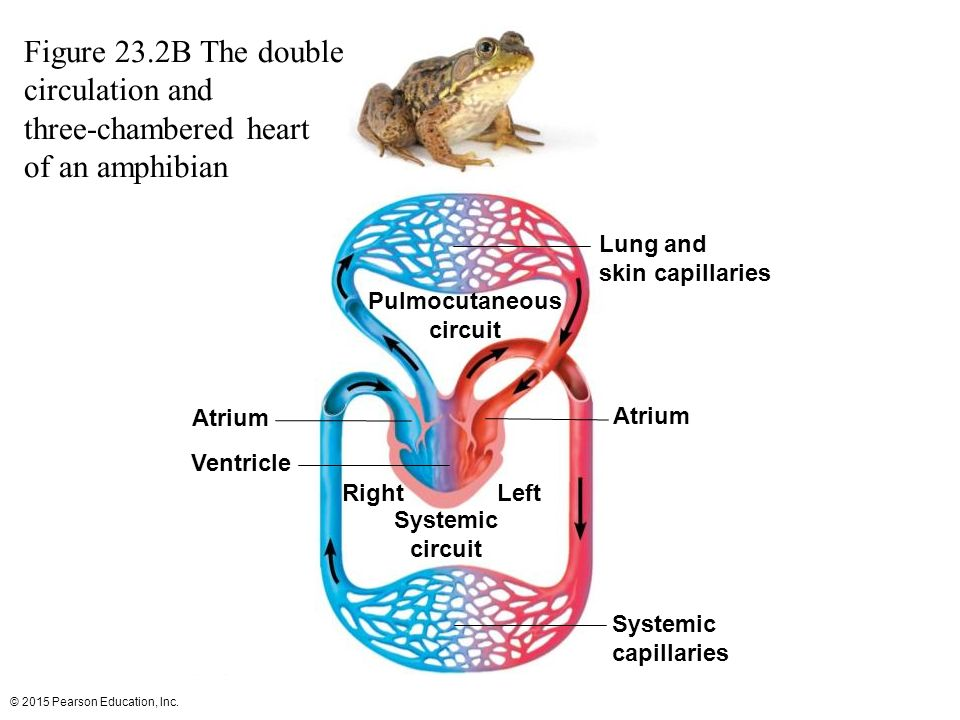Three Chambered Heart Diagram Of Circulation - Wiring Diagram For ...