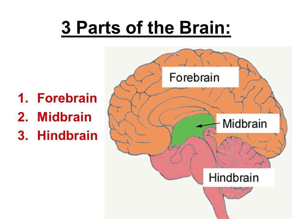 Parts brain forebrain midbrain hindbrain diagram online schematic chapter 6 body behavior ppt video online download rh slideplayer com forebrain structure the parts of midbrain diagram ccuart Gallery