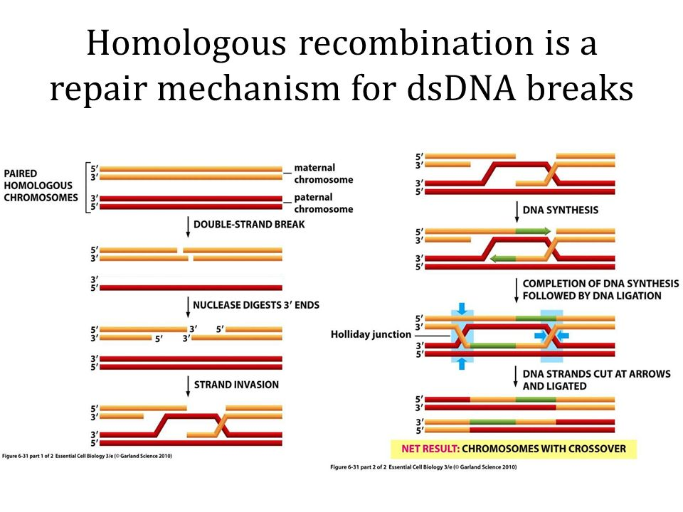 inhibitory mechanism in homologous recombination essay Thus it is possible to perform site-directed homologous recombination with a repair fragment and select for cells where the mutant sequence has been replaced with a normal sequence (figure 571) key to the process is the ability to induce a site-specific gene break.