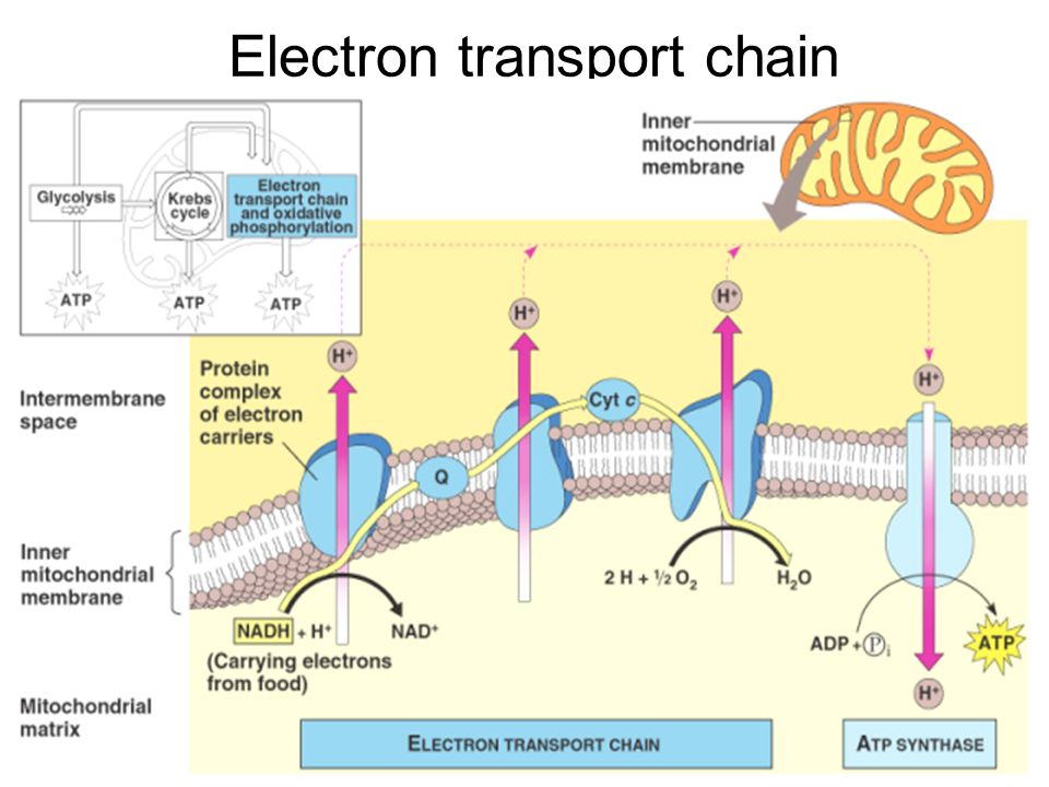 Cellular Respiration Campbell Chapter 9 Slide Shows Modified From Glenbrook High School Ap Site Ppt Download