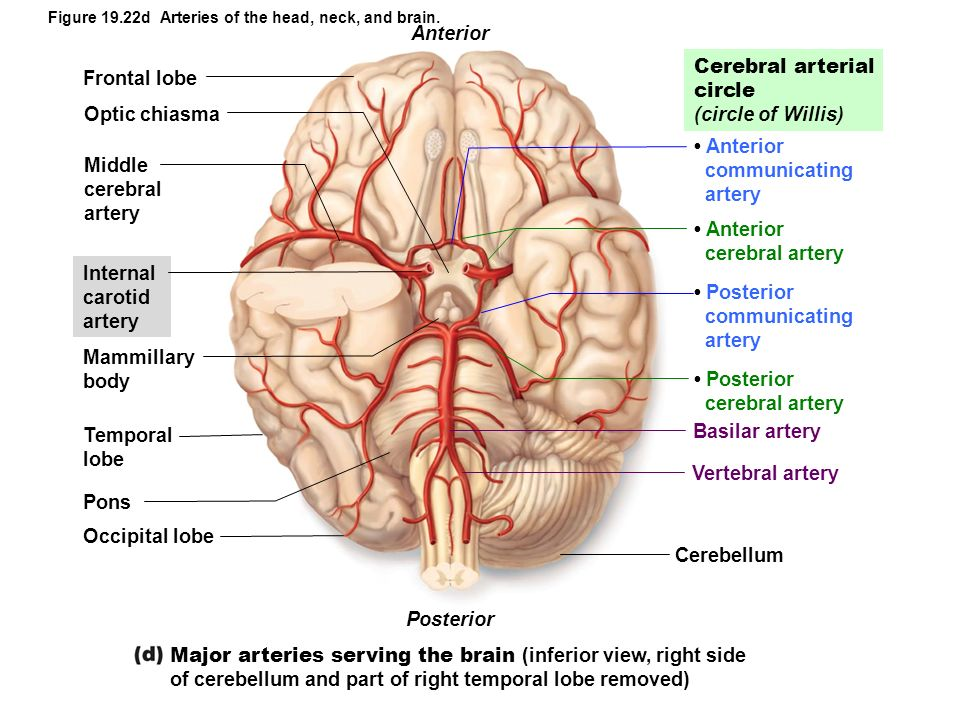 19 the cardiovascular system modified by dr par mohammadian ppt major arteries serving the brain inferior view right side ccuart Image collections
