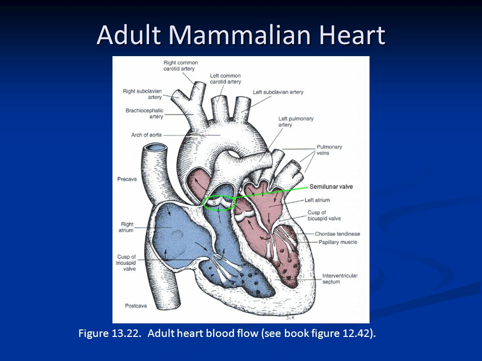 Comparative anatomy circulatory system ppt video online download 25 adult mammalian ccuart Images