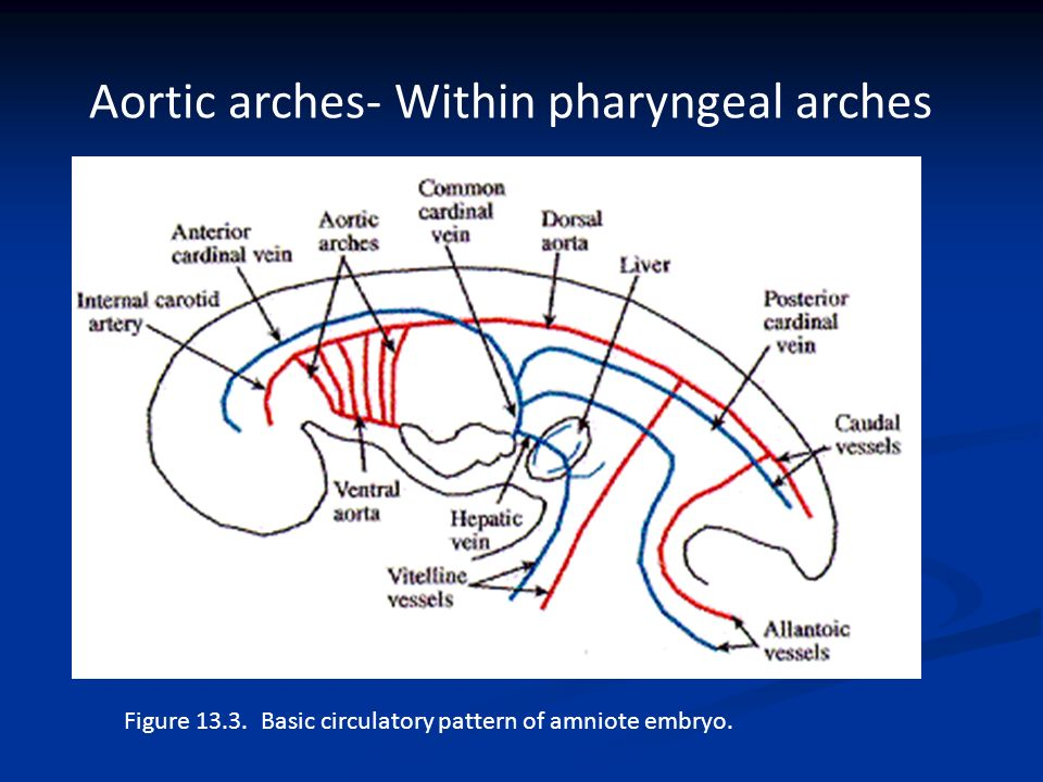 Comparative Anatomy Circulatory System - ppt video online download