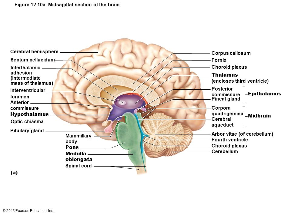 12 The Central Nervous System Part B Ppt Download