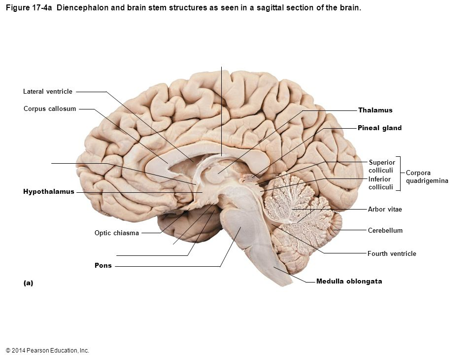 Diagram Of Brain Labeled Cut In Half Toyskids