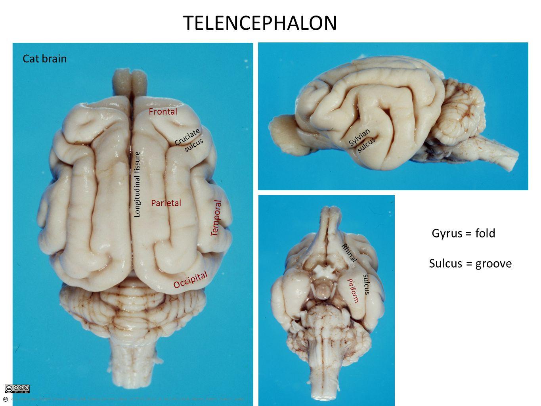 Myel Met Mes Di Tel HIND MID FORE Horse brain Cerebellum Medulla ...
