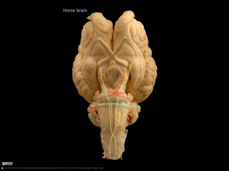 Myel Met Mes Di Tel Hind Mid Fore Horse Brain Cerebellum Medulla