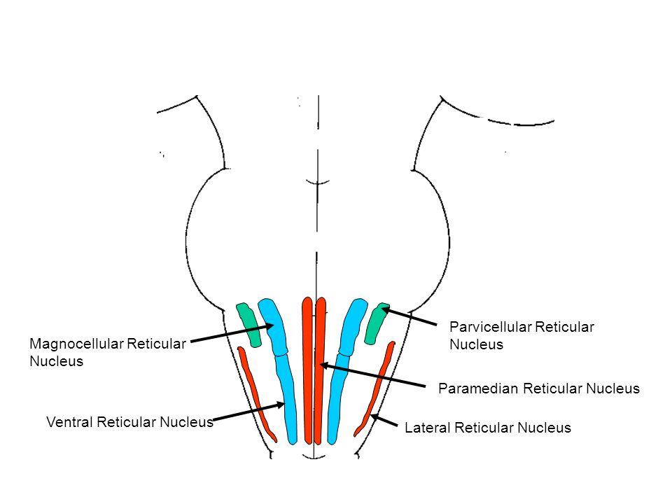 Reticular Formation Dr Sam David Ppt Video Online Download