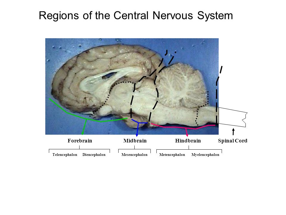 Tectum Sheep Brain Labeled Diagram - Introduction To Electrical ...