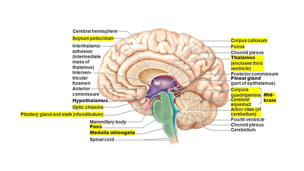 Cerebral hemisphere Diencephalon Cerebellum Brain stem • Midbrain ...