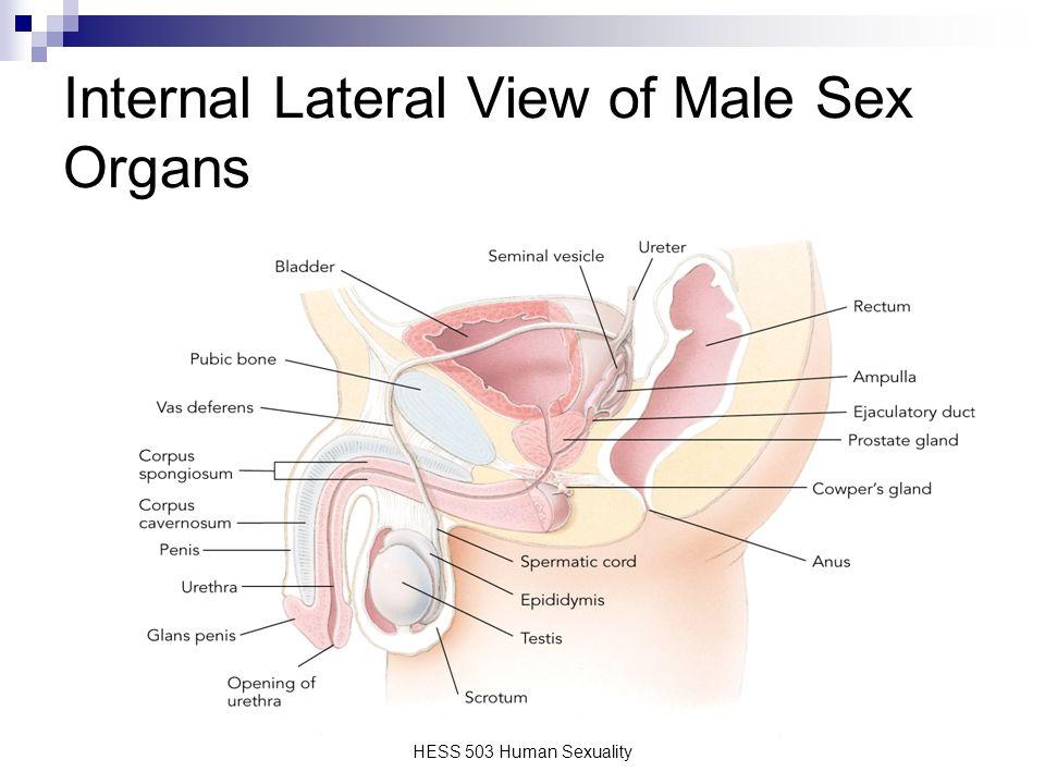 Human Intercourse Anatomy Image collections - human body anatomy